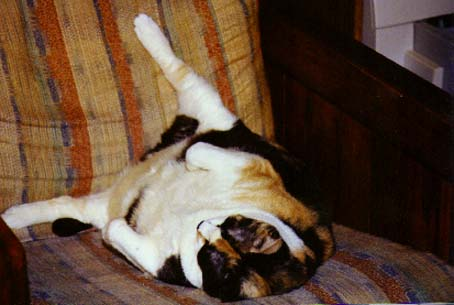Calico Lee in all her 30 pound glory